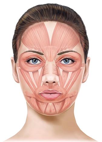 Muscles du visage